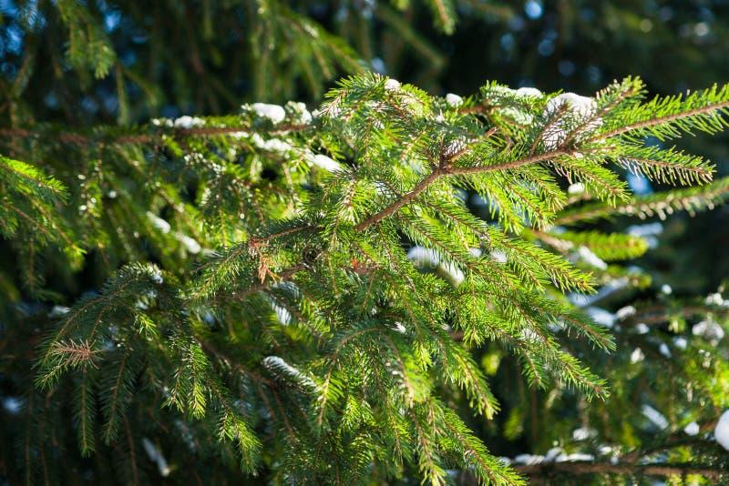 Árvore spruce ensolarado fotos de stock