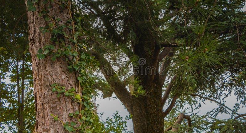 Árvore típica nas alturas de Como em Itália imagens de stock