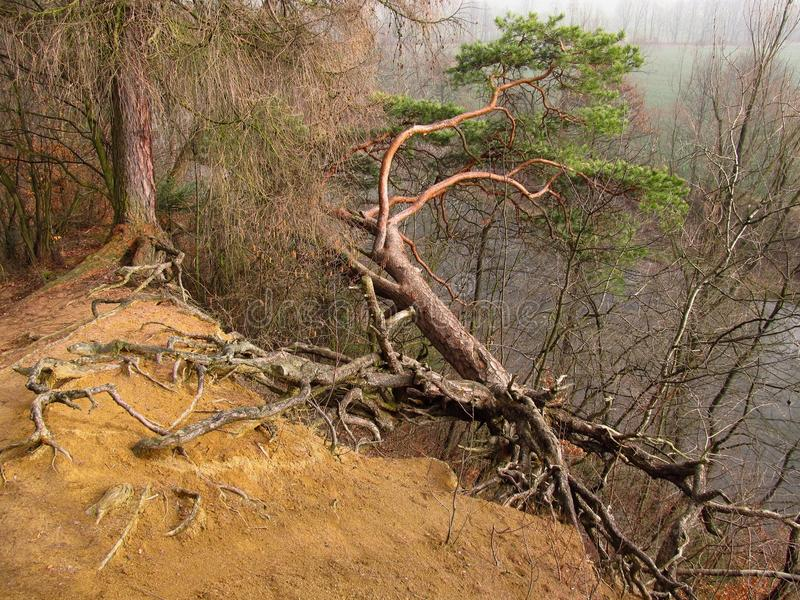 Árvore torcida fotos de stock