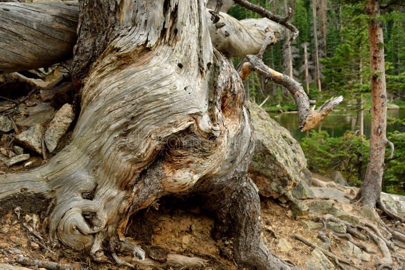 Árvore torcida fotografia de stock