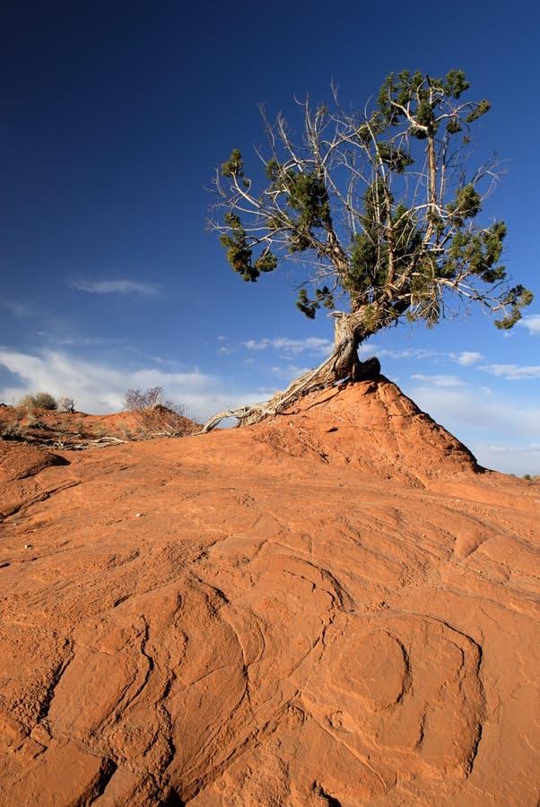 Árvore torcida, Sandstone vermelho foto de stock royalty free
