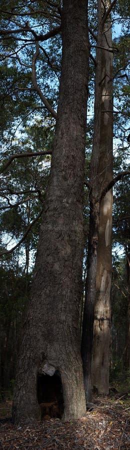 A árvore tornada ôca estando é bushland imagem de stock