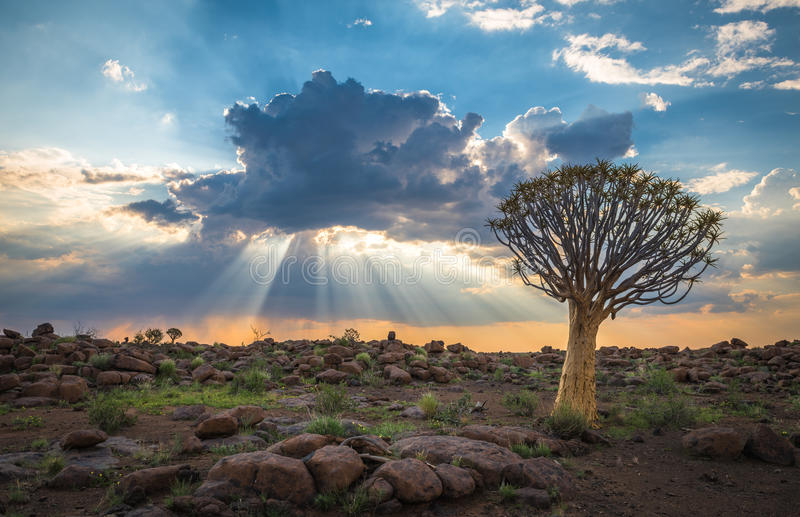 A árvore tremer, dichotoma do aloés, Keetmanshoop, Namíbia imagem de stock