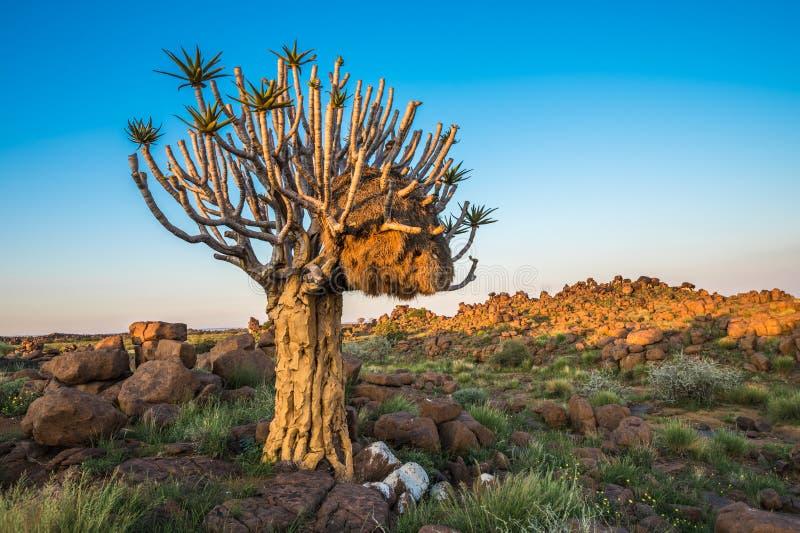 A árvore tremer, ou dichotoma do aloés, Keetmanshoop, Namíbia fotografia de stock