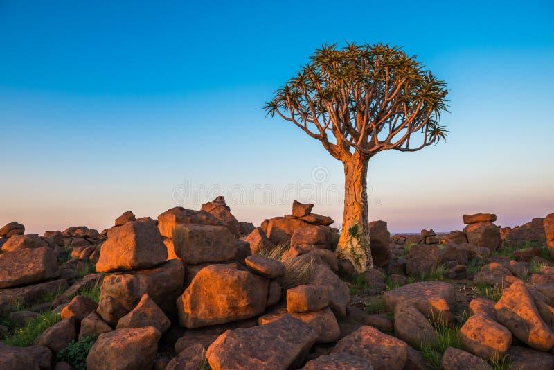 A árvore tremer, ou dichotoma do aloés, Keetmanshoop, Namíbia fotos de stock royalty free