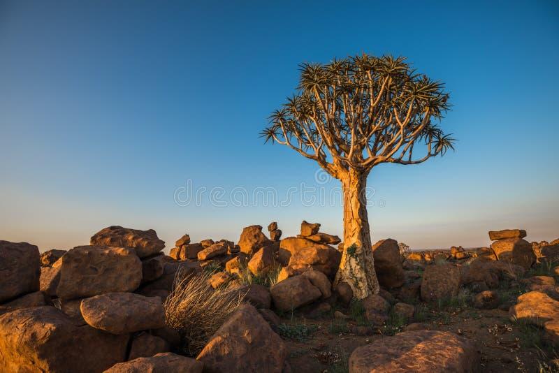 A árvore tremer, ou dichotoma do aloés, Keetmanshoop, Namíbia imagens de stock royalty free