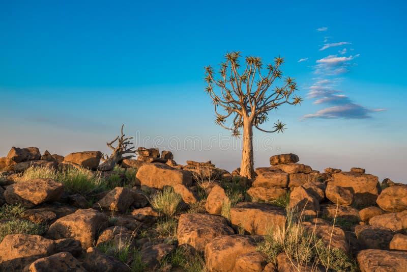 A árvore tremer, ou dichotoma do aloés, Namíbia fotografia de stock royalty free