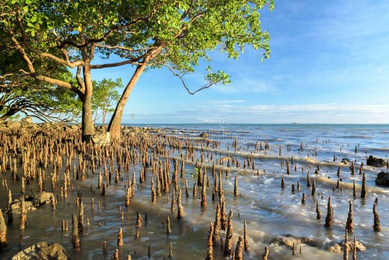 A árvore tropical dos manguezais na luz dourada como a maré aumenta foto de stock royalty free
