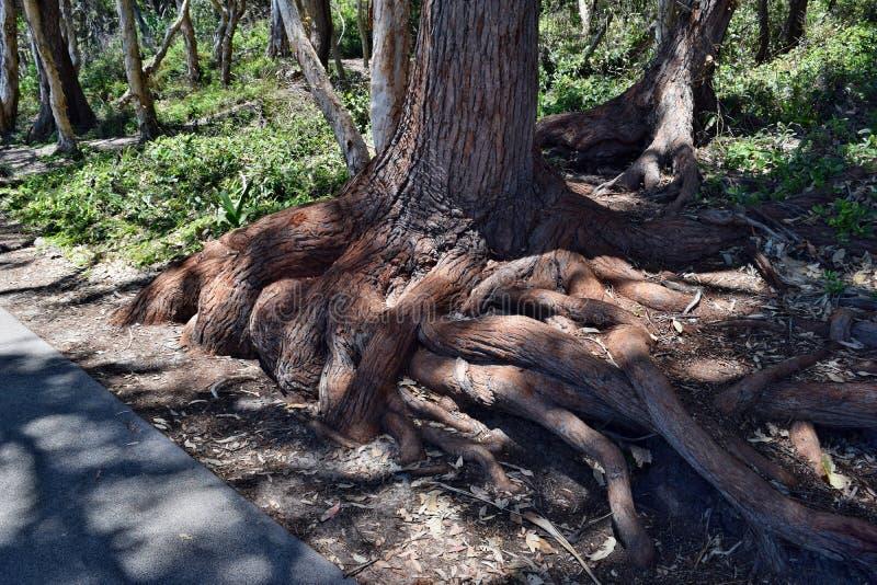 A árvore tropical, enraíza possivelmente o intermedia do corymbia no parque nacional de Noosa imagem de stock