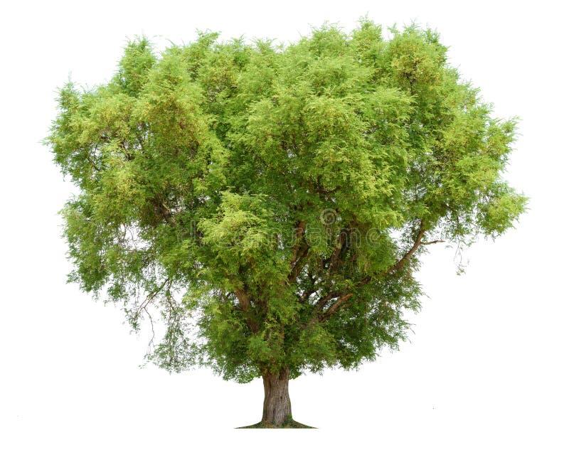 Árvore tropical indica do Tamarindus da árvore de tamarindo no nordeste fotografia de stock