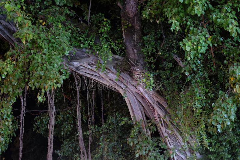 Árvore tropical liana retorcida, ficus enorme fotos de stock