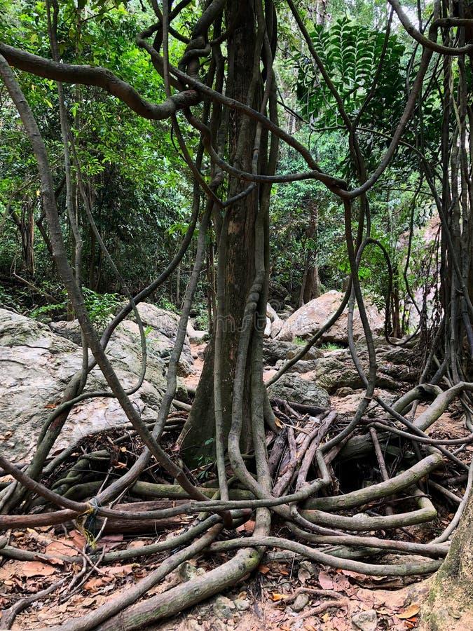 Árvore tropical torcida com as lianas na floresta úmida tropical imagem de stock