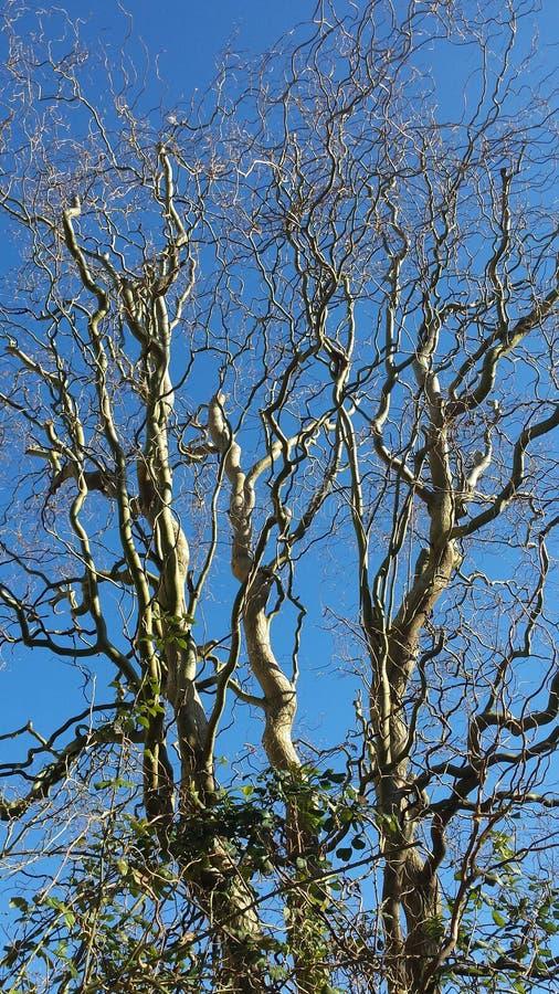 A árvore twisty foto de stock royalty free