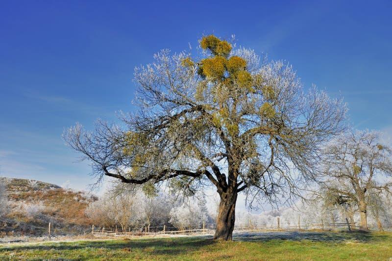 Árvore velha bonita do aplle fotografia de stock royalty free