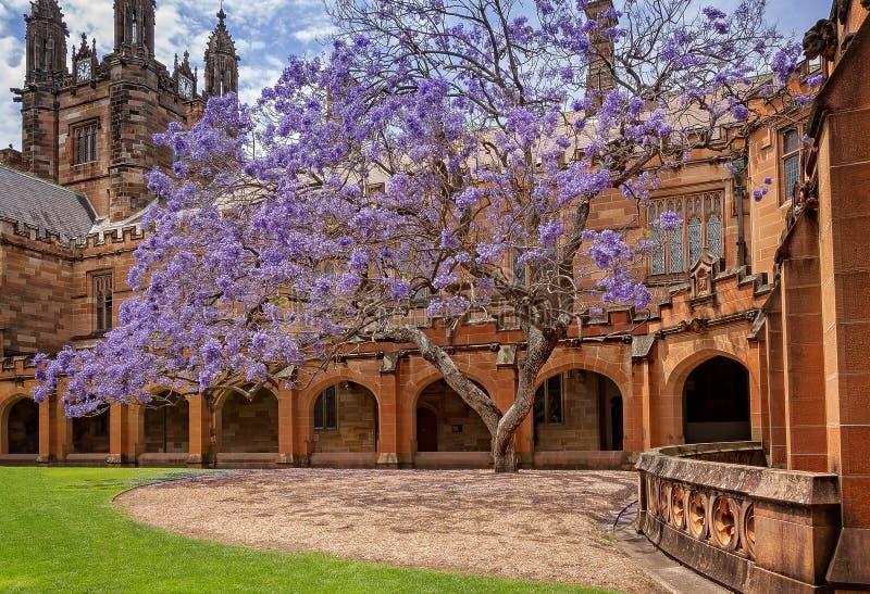 Árvore velha bonita do Jacaranda em Sydney University Quadrangle fotografia de stock royalty free