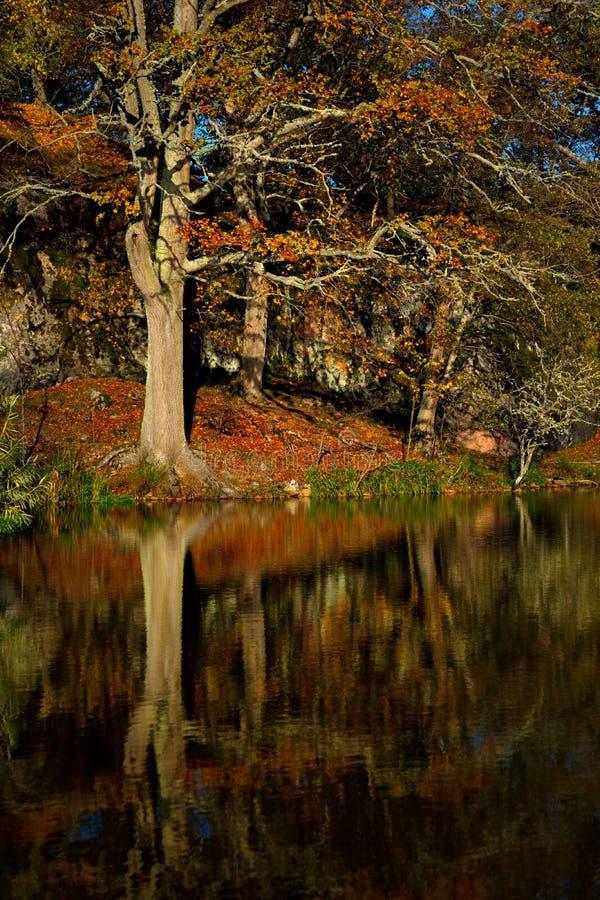 Árvore velha bonita no outono fotos de stock