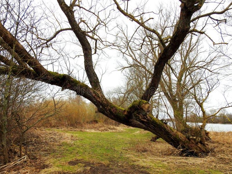 Árvore velha bonita perto do rio, Lituânia imagens de stock royalty free