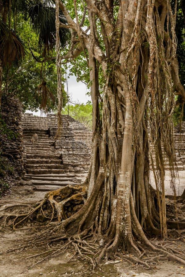 Árvore velha bonita próximo por ruínas de Chachoben imagens de stock