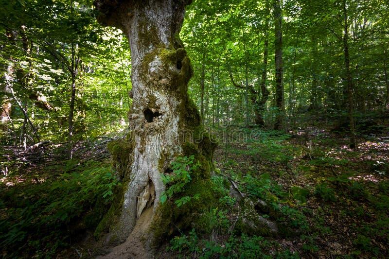 Árvore velha com cavidade Florestas de Virgin do parque nacional da montanha de Biogradska fotografia de stock royalty free
