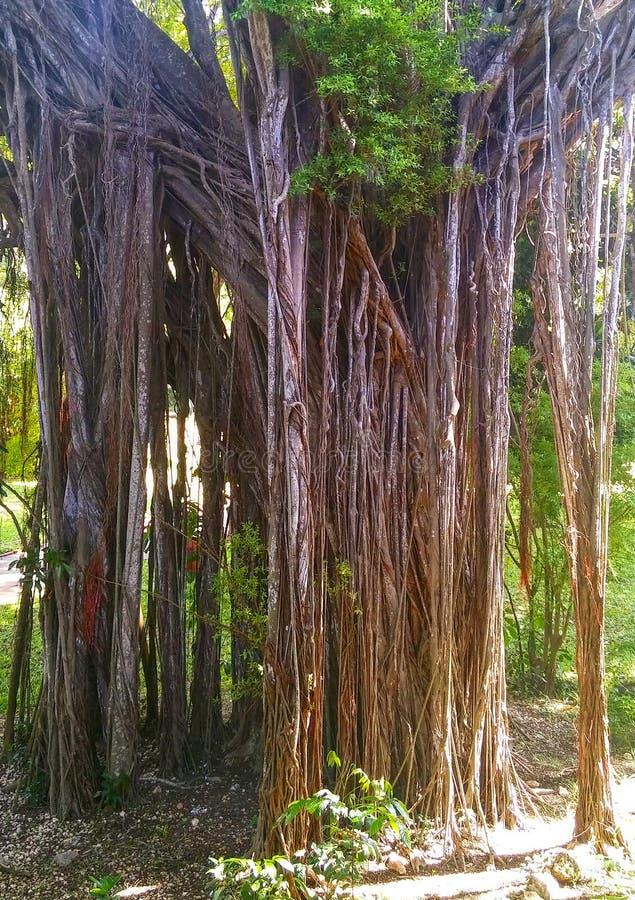 Árvore velha com raizes e as videiras de suspensão foto de stock