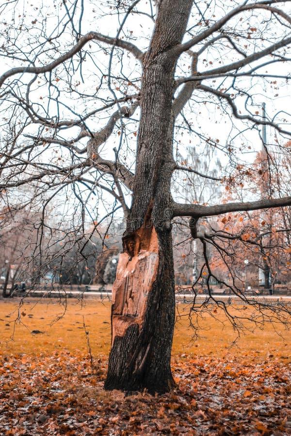 Árvore velha com um tronco mutilado após um temporal, foto de stock royalty free
