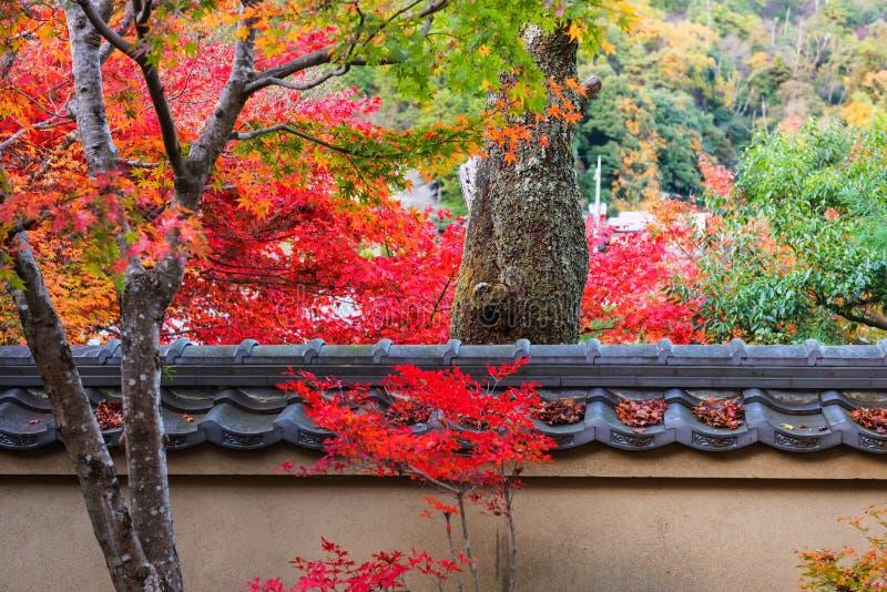 Árvore velha da bordadura das folhas da folhagem de outono, Arashiyama fotos de stock