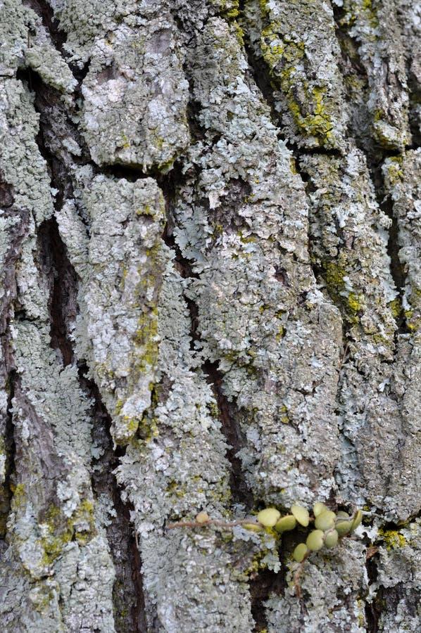 Árvore velha da pele do molde imagens de stock