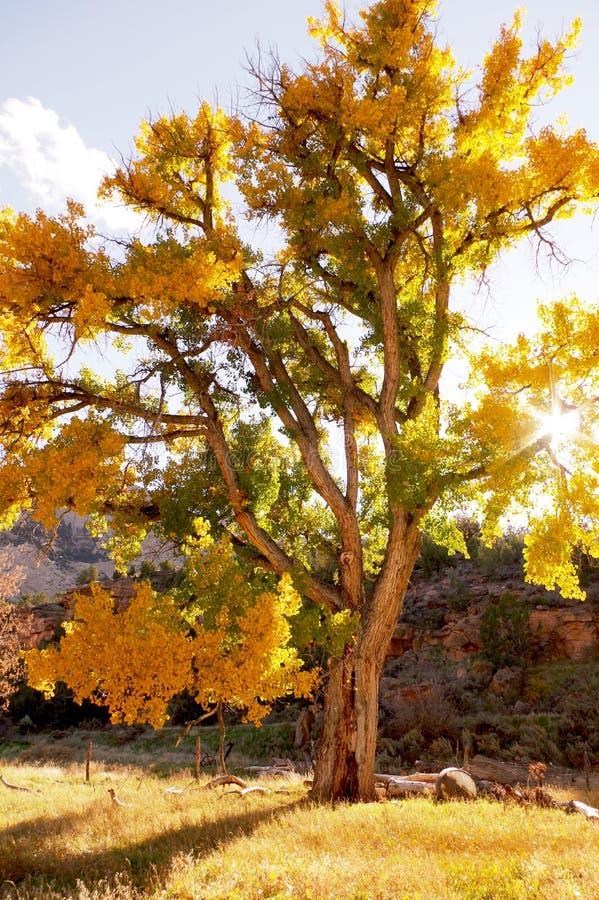 Árvore velha do cottonwood na queda no por do sol fotografia de stock