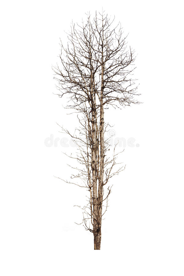 Árvore velha e inoperante isolada no fundo branco imagem de stock royalty free