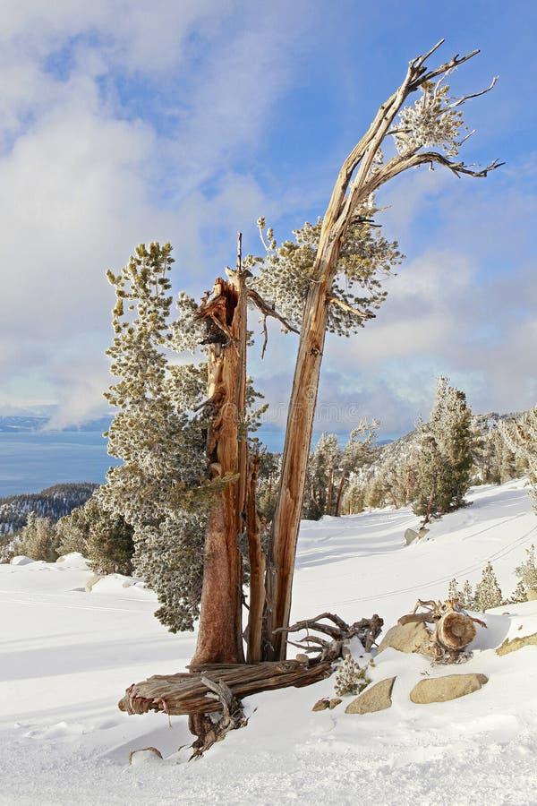 Árvore velha em inclinações do esqui em Lake Tahoe foto de stock royalty free