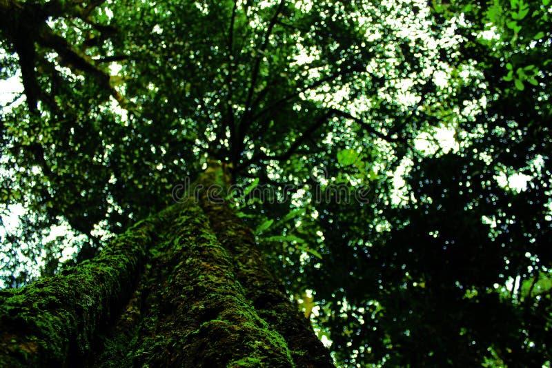 Árvore velha esverdeado imagens de stock royalty free