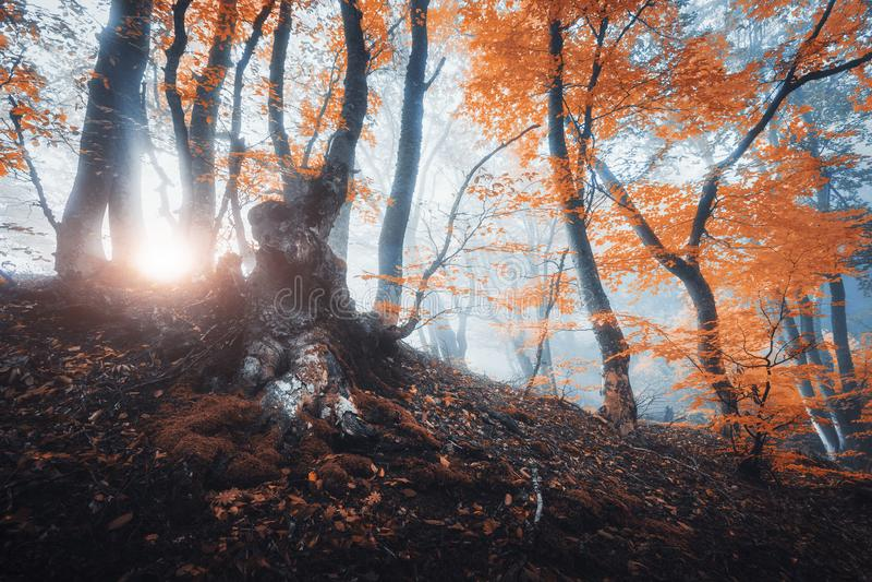 A árvore velha mágica com sol irradia na manhã Floresta na névoa imagens de stock