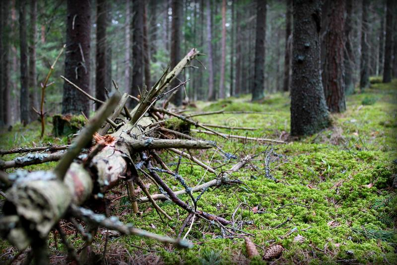 Árvore velha na natureza selvagem imagem de stock royalty free