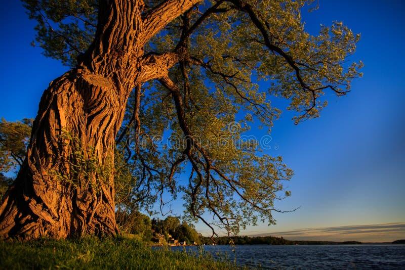 Árvore velha pelo lago fotografia de stock royalty free