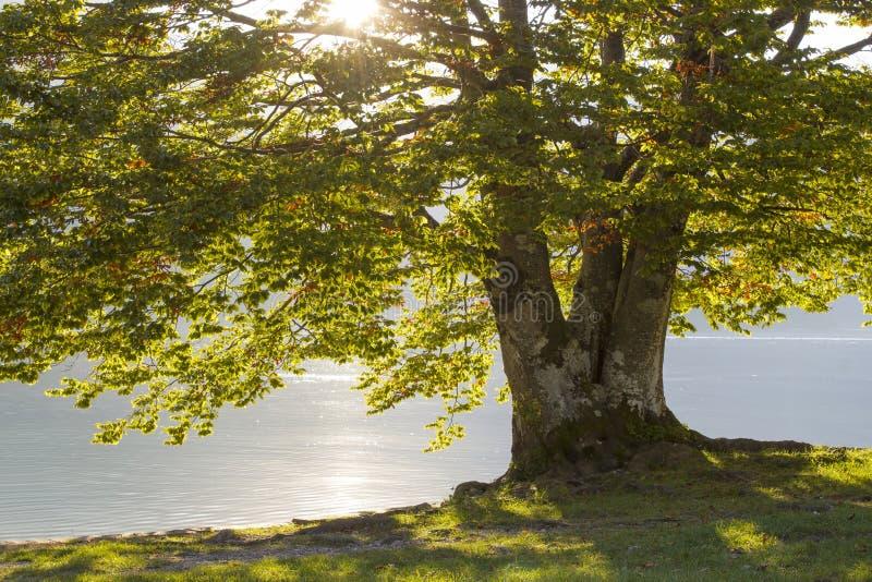 Árvore velha pelo lago Bohinj fotografia de stock