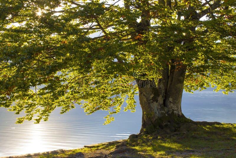 Árvore velha pelo lago Bohinj em Eslovênia imagens de stock royalty free