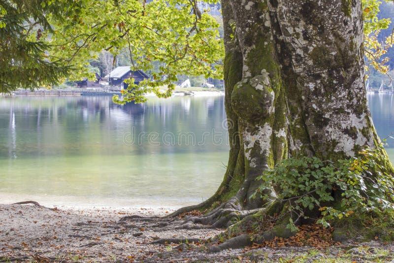 Árvore velha pelo lago Bohinj em Eslovênia foto de stock