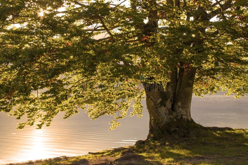 Árvore velha pelo lago Bohinj, Eslovênia imagem de stock