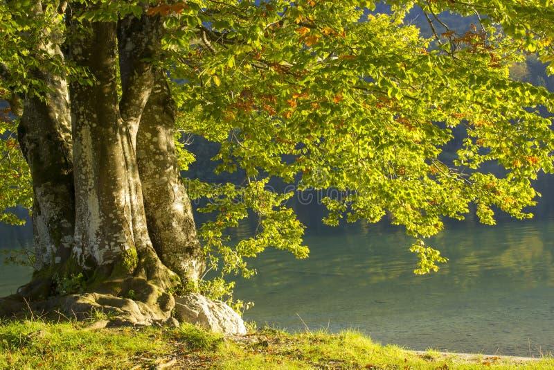 Árvore velha pelo lago Bohinj, Eslovênia fotos de stock