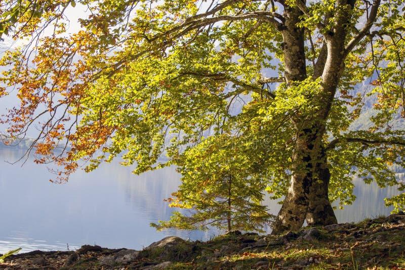Árvore velha pelo lago Bohinj, Eslovênia fotos de stock royalty free