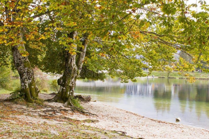 Árvore velha pelo lago Bohinj, Eslovênia imagens de stock