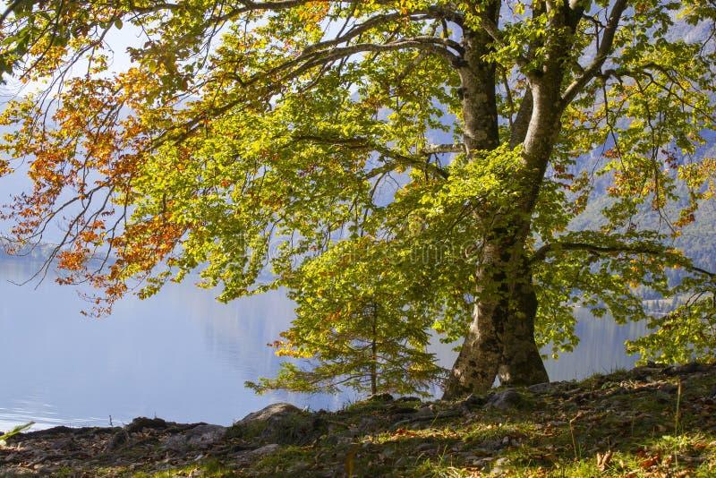Árvore velha pelo lago Bohinj, Eslovênia fotografia de stock royalty free