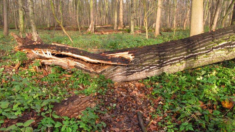 Árvore velha putrescente foto de stock royalty free