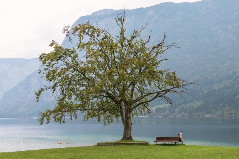Árvore velha só no lago Bohinj, Eslovênia fotografia de stock