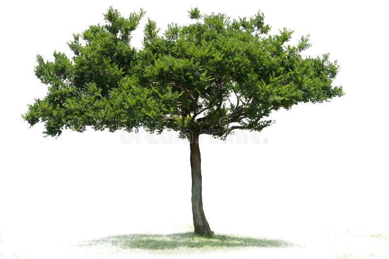Árvore verde bonita em um fundo branco na definição alta fotos de stock royalty free