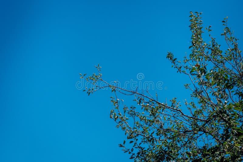 Árvore verde da folha com fundo grande do céu azul imagem de stock
