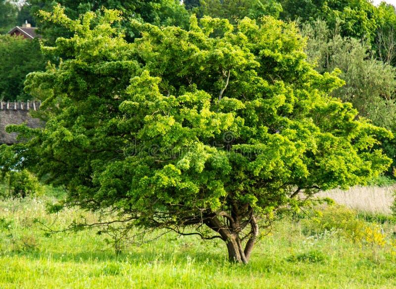 Árvore verde da mola no prado fotos de stock royalty free