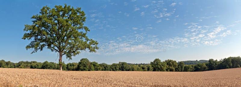 Árvore verde da solidão no campo de trigo com o céu nebuloso azul Panoram imagem de stock royalty free