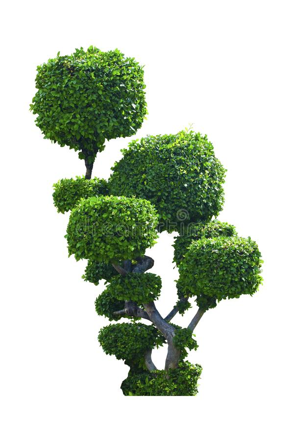 Árvore verde do arbusto áspero Siamese foto de stock