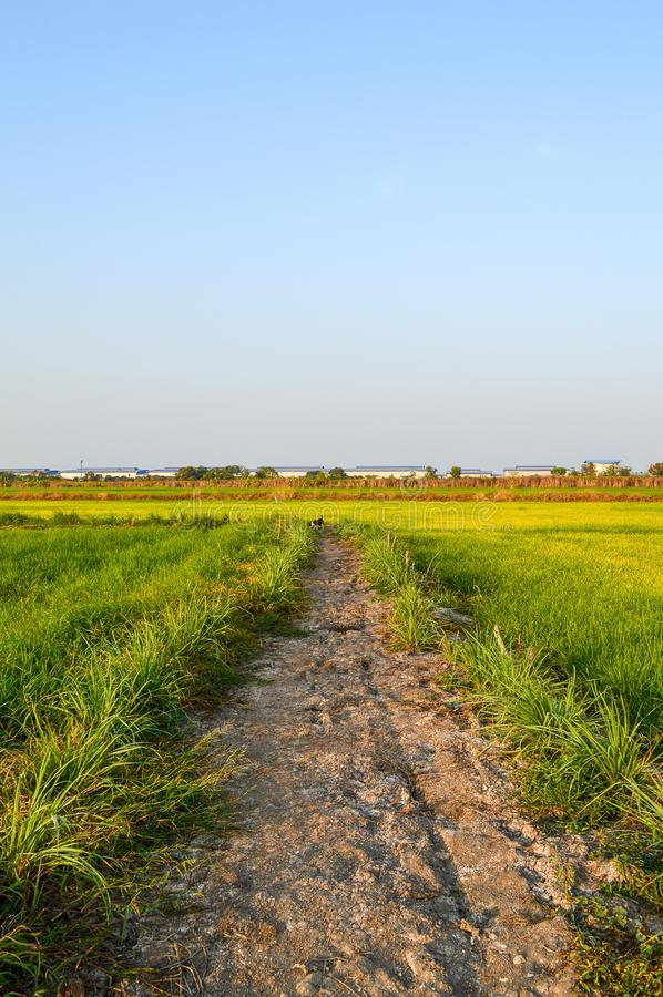 Árvore verde do arroz no país, Chachoengsao, Tailândia foto de stock